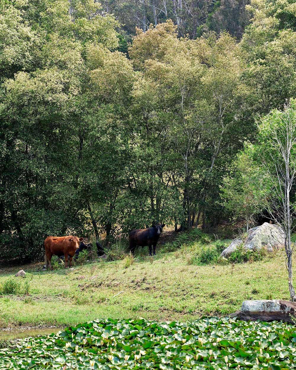Горные пейзажи и пасущиеся коровы: современный фермерский дом в Австралии